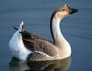 African Goose 2