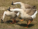 African Goose 8